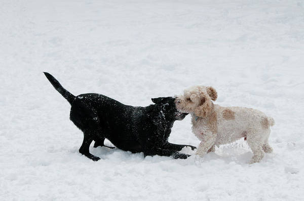 Wall Art - Photograph - Labrador And Cockapoo Playfighting by William Mullins