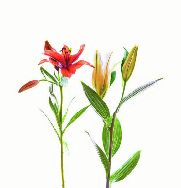Wall Art - Photograph - Lilies On A White Background by Panoramic Images