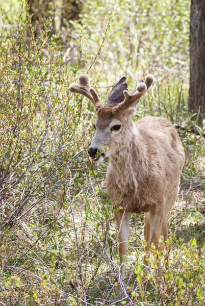 Photograph - Mule Deer by Michael Chatt