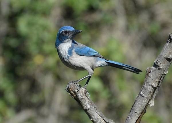 Scrub Jay Photograph - Poised by Fraida Gutovich