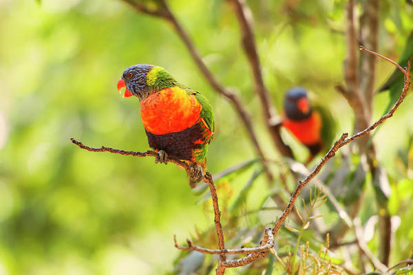 Photograph - Rainbow Lorikeets by Rob D Imagery
