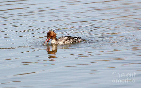 Wall Art - Photograph - Red-breasted Merganser by Lori Tordsen
