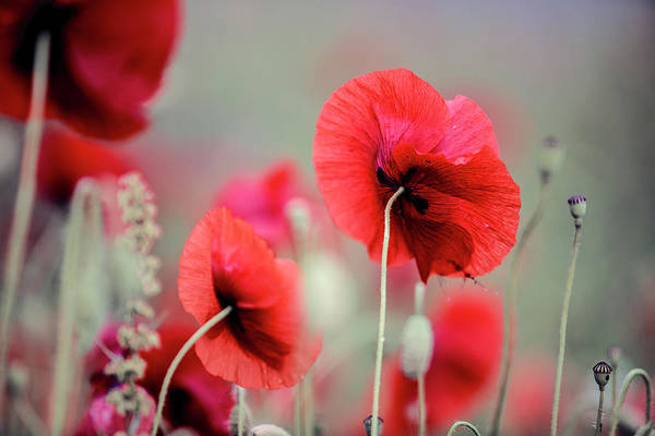 Soft Color Photograph - Red Corn Poppy Flowers by Nailia Schwarz