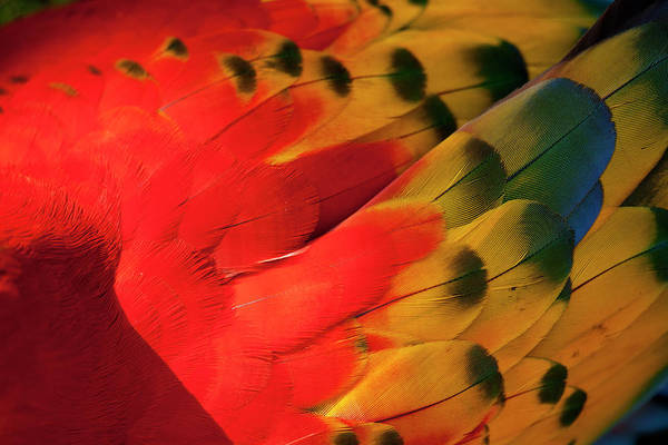 Macaw Photograph - Scarlet Macaw, Costa Rica by Paul Souders