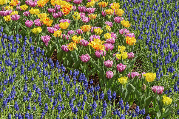 Wall Art - Photograph - Tulips, Skagit Valley Tulip Festival by Adam Jones