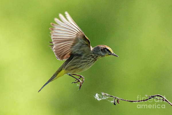 Photograph - Warbler by Michael D Miller