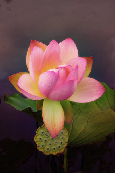 Pink Lotus Flower Photograph - Luxuriant Lotus by Jessica Jenney