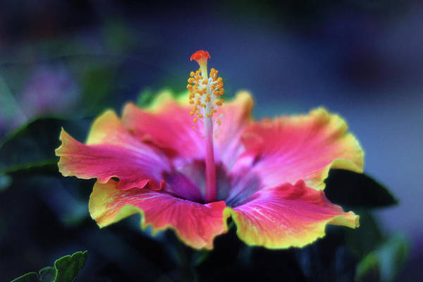 Hibiscus Delight Art Print