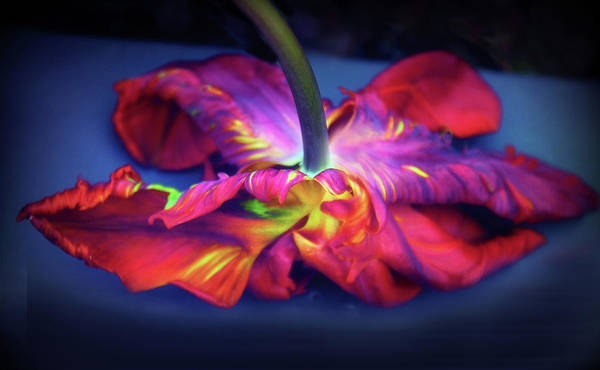 Photograph - Flaming Tulip Rococo  by Jessica Jenney