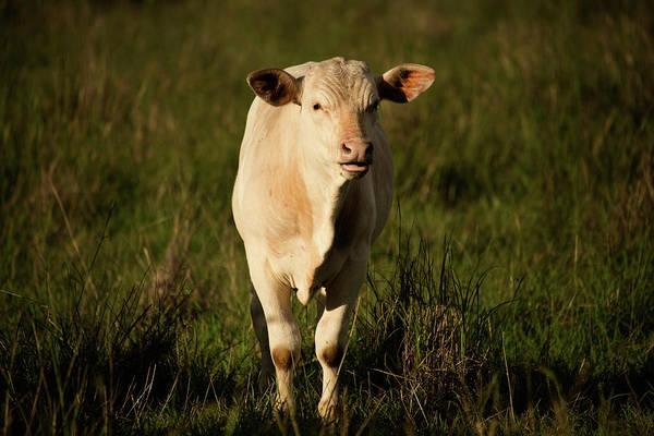 Photograph - Australian Cow by Rob D Imagery