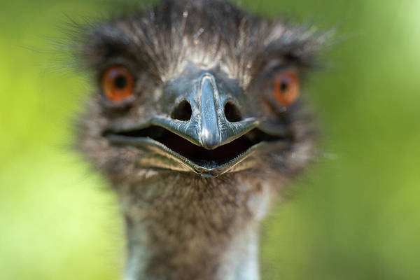 Photograph - Australian Emu Outdoors by Rob D Imagery