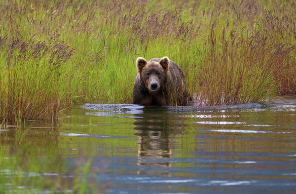Wall Art - Photograph - Brown Bear, Katmai National Park by Mint Images/ Art Wolfe