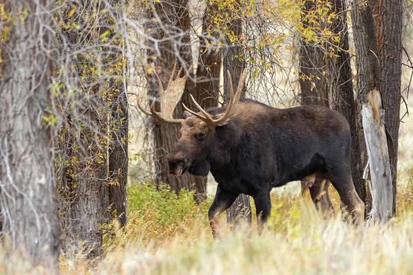 Photograph - Bull Moose by Michael Chatt