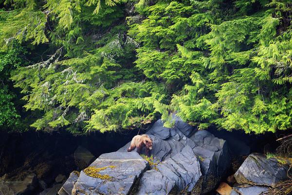 Grizzly Bear Photograph - Grizzly Bear Ursus Arctos Horribilis by Richard Wear / Design Pics