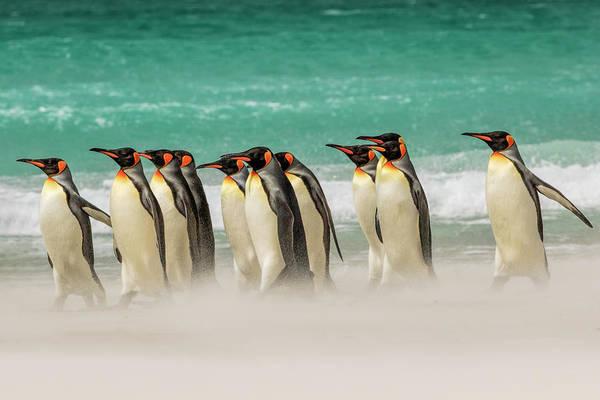 Wall Art - Photograph - Group Of King Penguins On Beach by Adam Jones