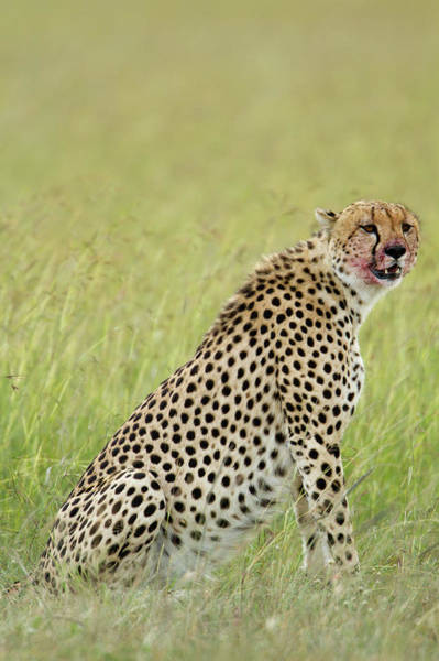 Photograph - Kenya, Masai Mara National Game by Denis-huot Michel / Hemis.fr