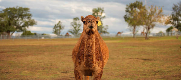 Photograph - Large Beautiful Camel by Rob D Imagery
