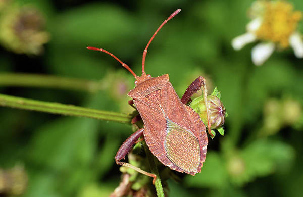 Photograph - Leaf Footed Bug by Larah McElroy
