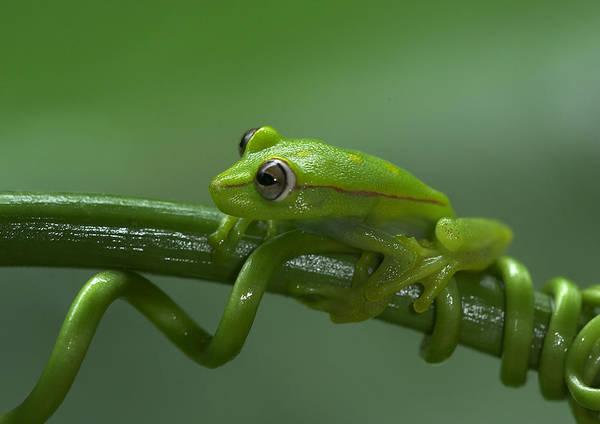 Photograph - Polkadot Treefrog by Michael Lustbader