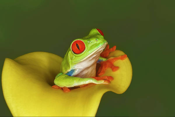 Wall Art - Photograph - Red-eyed Tree Frog by Adam Jones