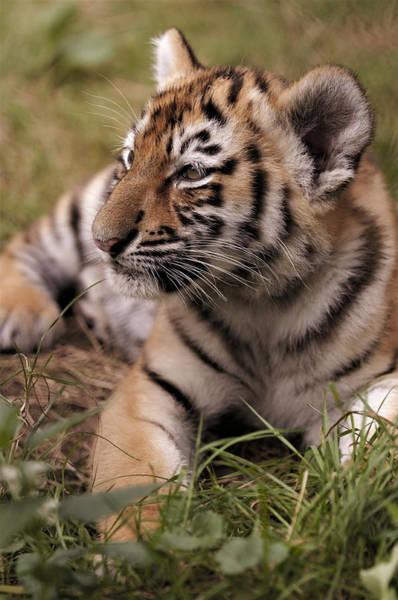 Photograph - Siberian Tiger,siberian Tiger Cub by Eye to Eye Xperience