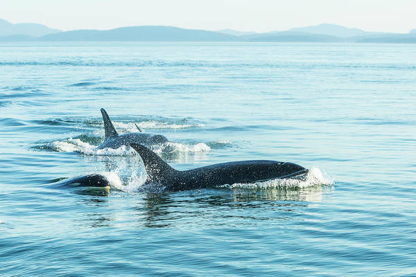 Wall Art - Photograph - Surfacing Resident Orca Whales by Stuart Westmorland