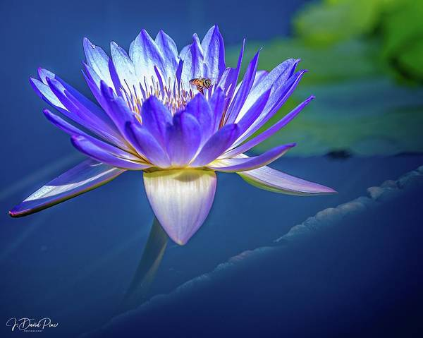 Photograph - Water Lily by David Pine