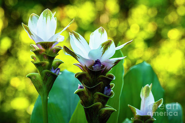 Wall Art - Photograph - White Curcuma Flower by Raul Rodriguez