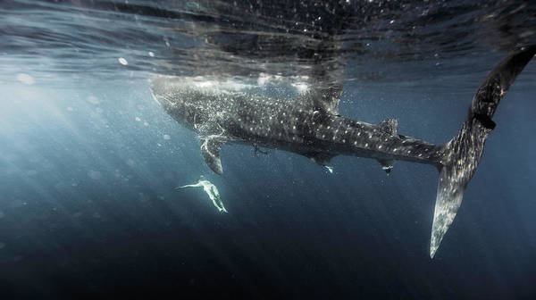 Underwater Photograph - Woman Swimming With Whale Shark by Tyler Stableford