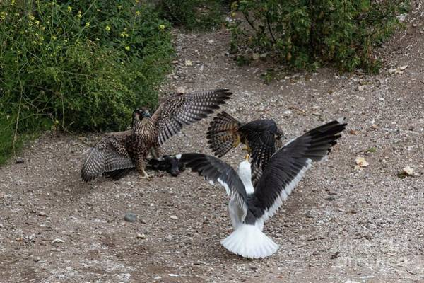 Wall Art - Photograph - Fight Over A Pigeon 6138 by Craig Corwin