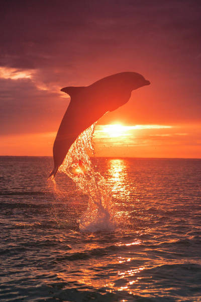 Wall Art - Photograph - Bottlenose Dolphins, Caribbean Sea by Stuart Westmorland