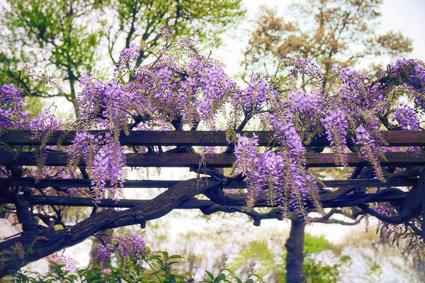 Wall Art - Photograph - Wisteria Wonder by Jessica Jenney