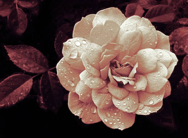 Photograph - Blush Rose Rain by Jessica Jenney