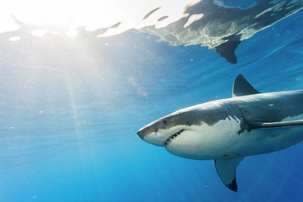 Wall Art - Photograph - Great White Shark, Large 5 Meter by Stuart Westmorland