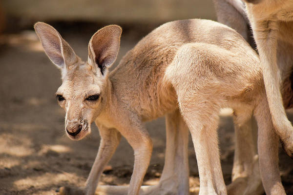 Photograph - Kangaroo Joey by Rob D Imagery