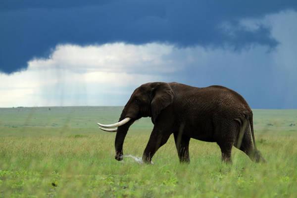 Walking In The Rain Wall Art - Photograph - Kenya, Masai Mara National Game by Denis-huot Michel / Hemis.fr