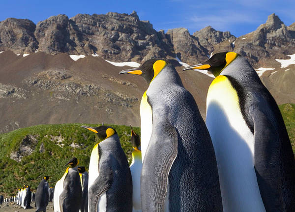 The Rookery Wall Art - Photograph - King Penguins Aptenodytes Patagonicus by Eastcott Momatiuk