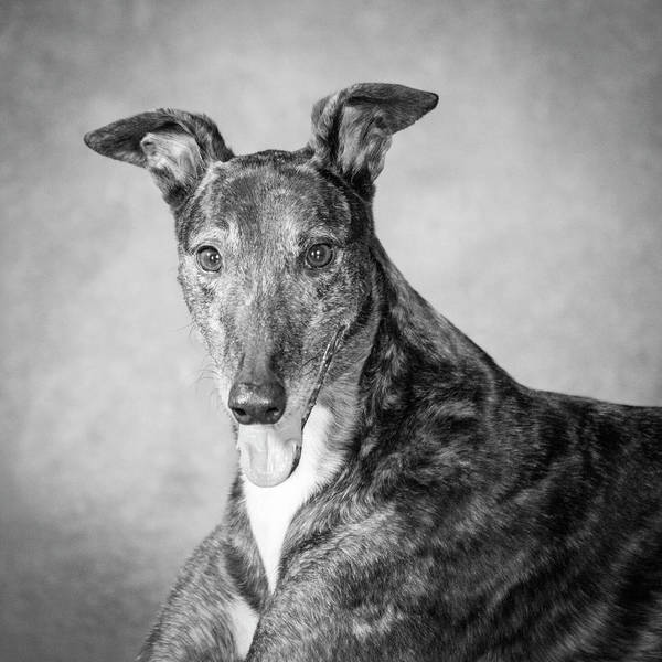 Wall Art - Photograph - Portrait Of A Greyhound Dog by Panoramic Images