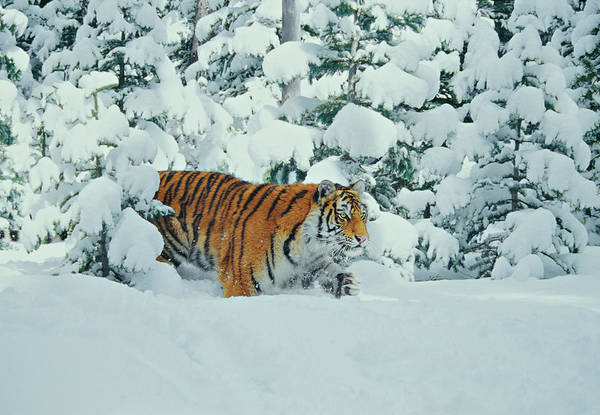 Wall Art - Photograph - Siberian Tiger Panthera Tigris Altaica by Gary Vestal