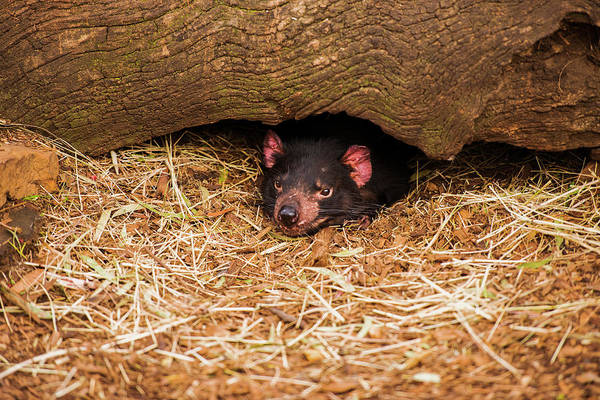 Photograph - Tasmanian Devil In Hobart, Tasmania. by Rob D Imagery