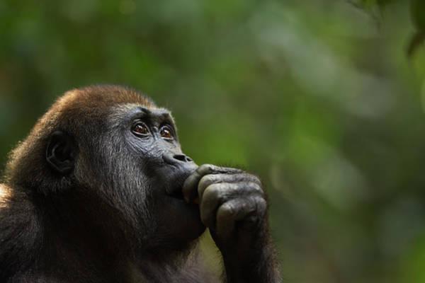 Urban Wildlife Photograph - Western Lowland Gorilla Juvenile Male by Anup Shah