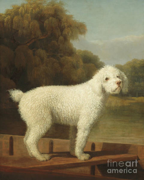 Poodle Wall Art - Painting - White Poodle In A Punt by George Stubbs