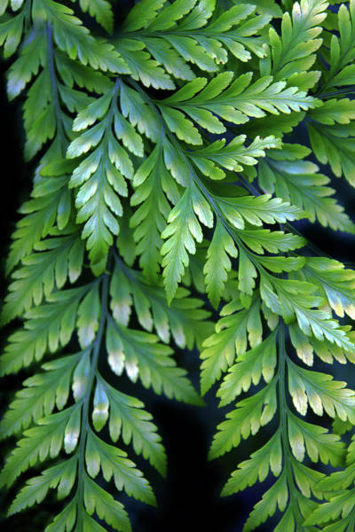 Wall Art - Photograph - Verdant Fern 2 by Jessica Jenney