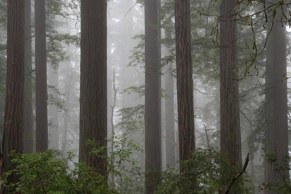 Photograph - 8 Fern Grove Fog N. California by Phyllis Spoor