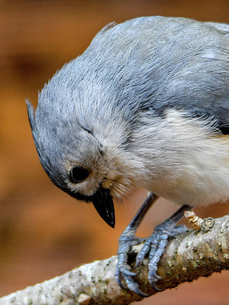 Wall Art - Photograph - Tufted Titmouse by Noble Nuthatch