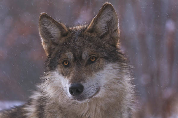 Photograph - Wolf by Brian Cross