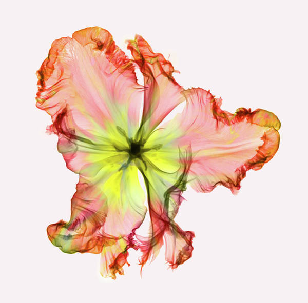 Wall Art - Photograph - X-ray Of A Tulip Flower by Ted M. Kinsman