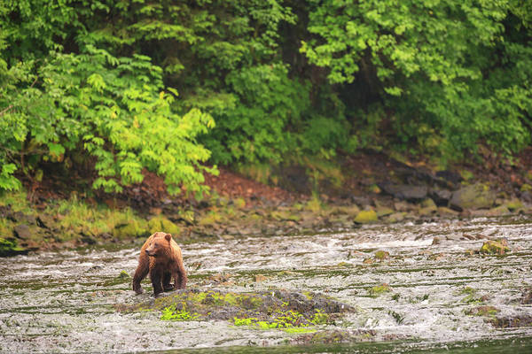 Wall Art - Photograph - Young Brown Bear Fishing For Spawning by Stuart Westmorland