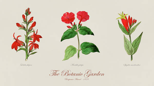 Red Cardinal Drawing - 19th Century Botanical Illustrations Of Flowers From The Botanic Garden By Benjamin Maund by JESP Art and Decor