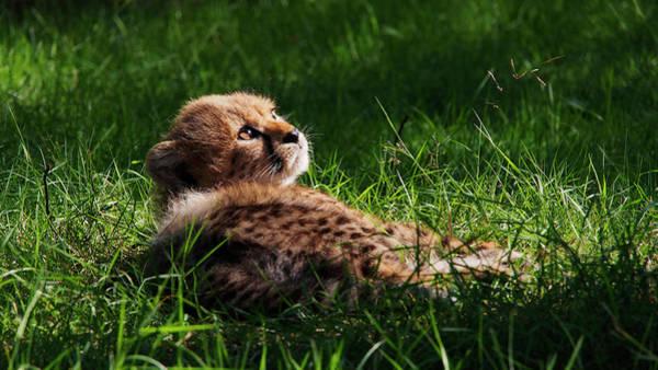 Photograph - Cheetah Cub by Eye to Eye Xperience